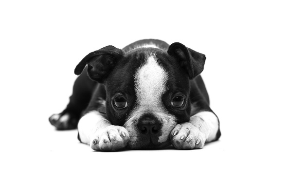 Picture look, each, dog, puppy, English bulldog