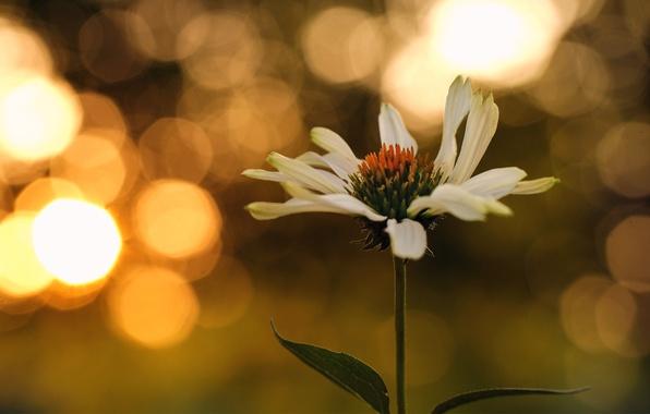 Picture flower, leaves, sunset, Daisy, bokeh