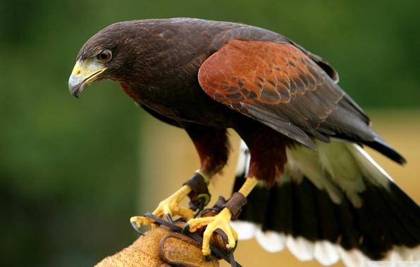 Picture nature, bird, eagle, branch, beak