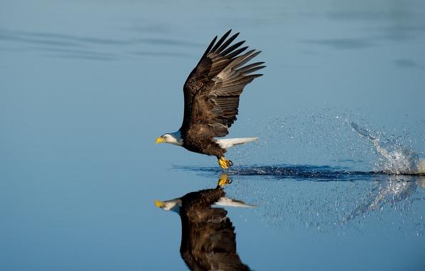 Picture lake, splash, reflection, wildlife, bald eagle, hunting