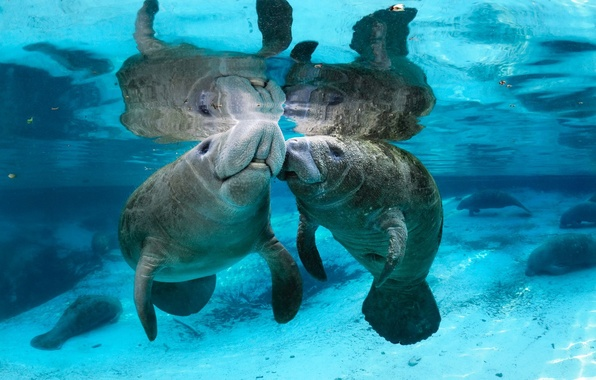 Picture water, river, transparent, Manatees