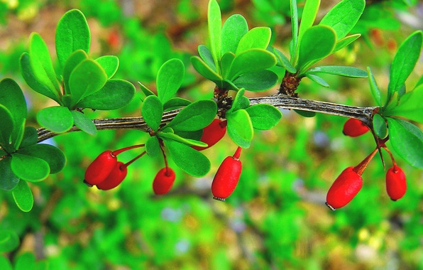Picture leaves, berries, branch, fruit, dogwood