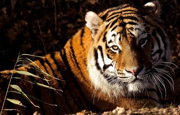 Picture look, face, tiger, lies, tiger, panthera tigris