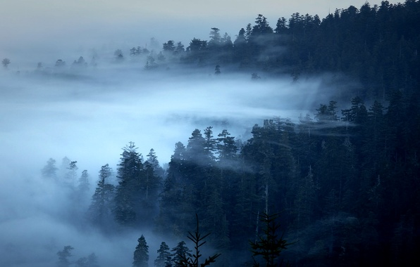 Picture forest, trees, fog, CA, USA, Redwood