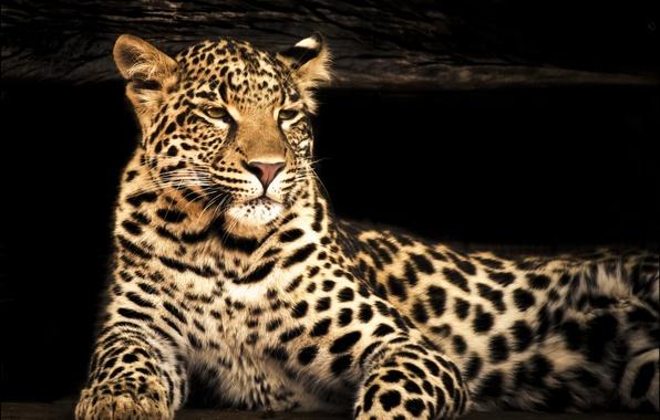 Picture look, face, photoshop, predator, blur, leopard
