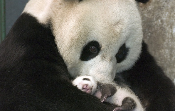 Picture Bear, Panda, Black and white