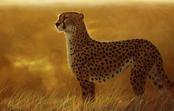 Picture cat, grass, predator, art, Cheetah, Savannah, wild