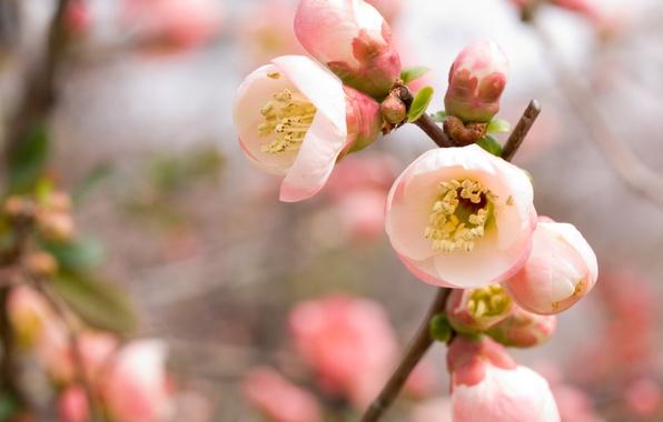 Picture cherry, pink, branch, spring, Sakura, flowering