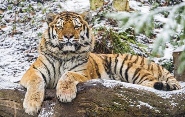 Picture cat, look, snow, tiger, log, Amur, ©Tambako The Jaguar