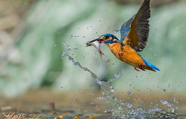 Picture water, drops, bird, fish, hunting, bird, drop, water, Kingfisher, fish, hunt, Emi