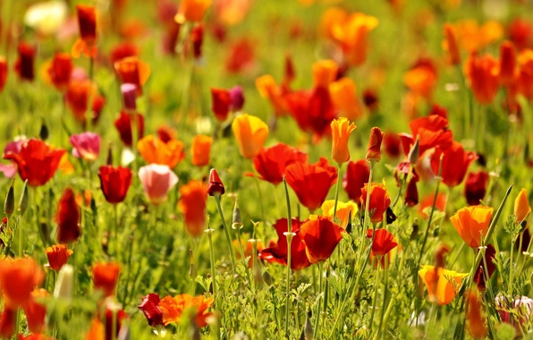 Picture greens, field, flowers, red, nature, background, widescreen, Wallpaper, Mac, Maki, wallpaper, flowers, flower, nature, flowers, …
