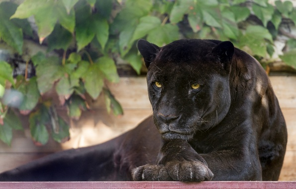Picture face, stay, foliage, predator, paws, Panther, wild cat, black Jaguar