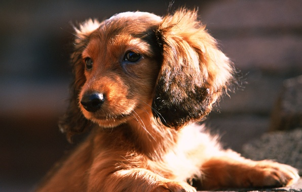 Picture look, face, the sun, dog, dog, puppy, Dachshund, ears