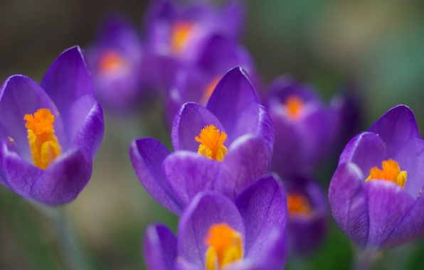 Picture macro, flowers, color, spring, purple, crocuses