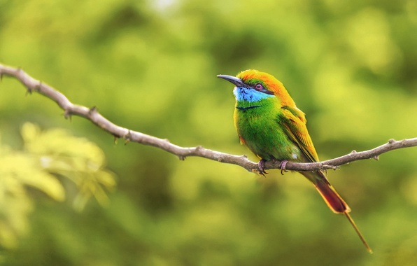 Picture background, bird, branch, bokeh, the green bee-eater