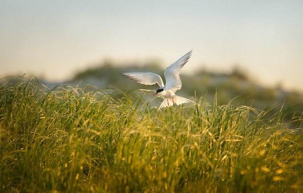 Picture field, summer, grass, nature, bird