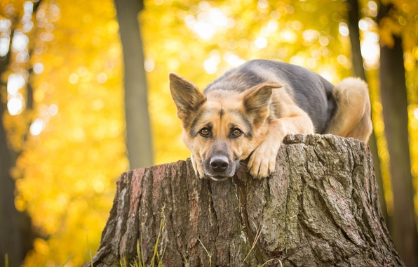 Picture look, stump, dog, shepherd, German shepherd
