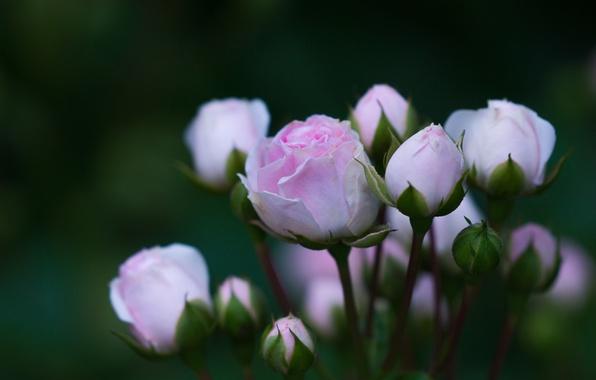 Picture pink, rose, petals, Bud, flowering