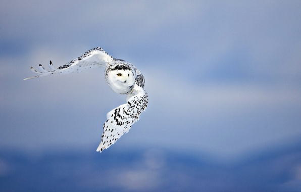 Picture BACKGROUND, The SKY, SPOT, WINGS, FLIGHT, BIRD, OWL, PREDATOR