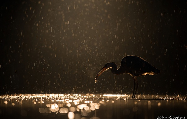 Picture night, glare, rain, bird, the evening, catch, grey Heron