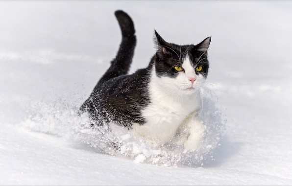 Photo wallpaper winter, animals, cats, Oscar, Winter, animals, cat, wallpapers, Oscar