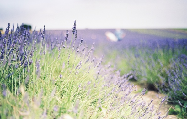 Picture greens, field, flowers, background, widescreen, Wallpaper, plant, wallpaper, flowers, widescreen, background, lavender, full screen, HD …