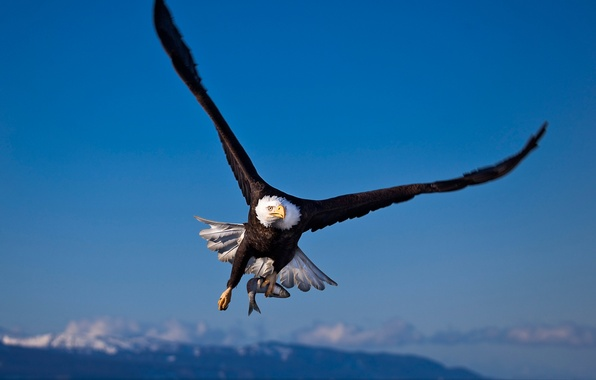 Picture eagle, fish, Bird, hunting, mining, bald eagle