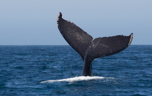 Picture ocean, jumping, whale, humpback, fluke