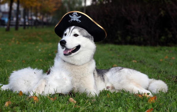 Picture Wallpaper, dog, hat, husky