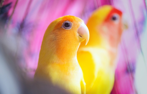 Picture birds, background, yellow, parrots