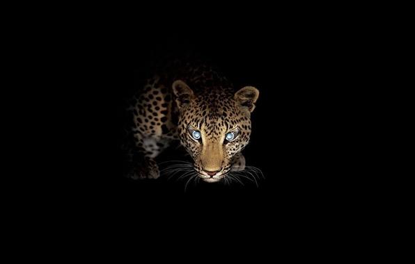 Picture look, night, predator, leopard, hunting