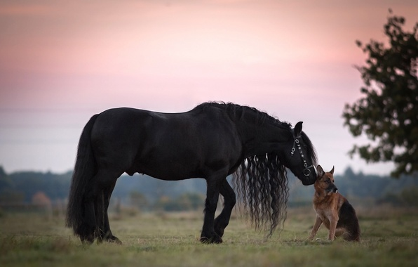 Picture horse, dog, friendship, mane, friends, German shepherd, shepherd, crow