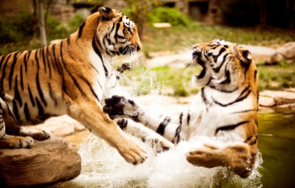 Picture water, nature, tigers, animals, wallpapers