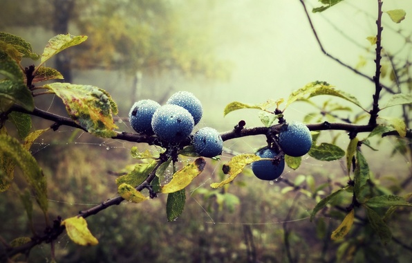 Picture forest, leaves, drops, nature, fog, berries, web, branch, blueberries, blueberries