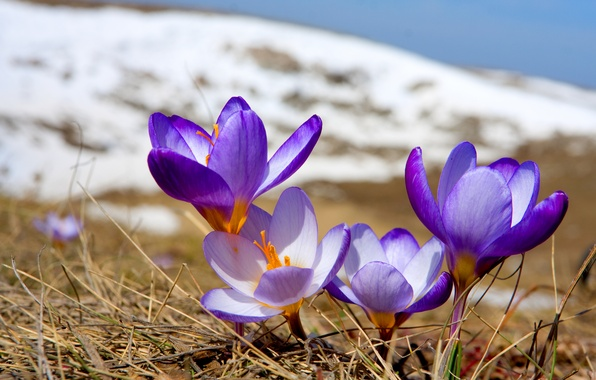 Picture flowers, nature, spring, crocuses, flowering, primrose