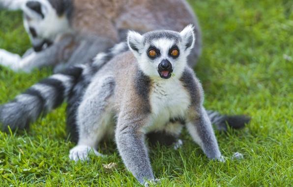 Picture grass, look, lemur