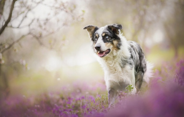 Picture flowers, dog, bokeh, The border collie