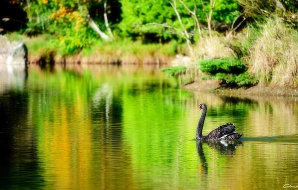 Picture lake, pond, bird, black, Swan