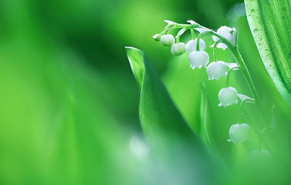 Picture macro, spring, Lily of the valley