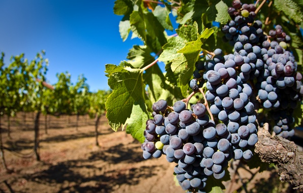Picture leaves, berries, grapes, bunch, vineyard, brush, vine