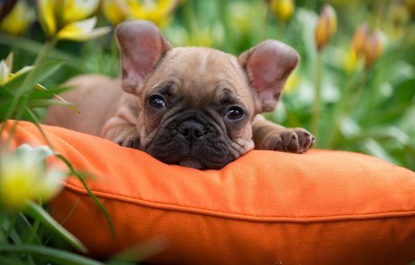 Picture grass, puppy, pillow, French bulldog