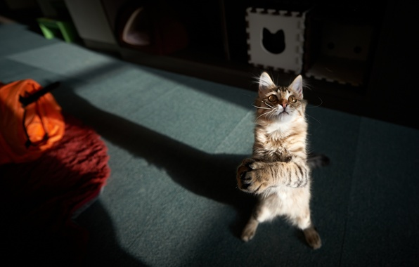 Picture cat, cat, room, the game, paws, standing