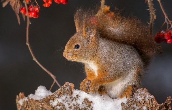 Picture snow, branches, berries, protein, red, Rowan, stump