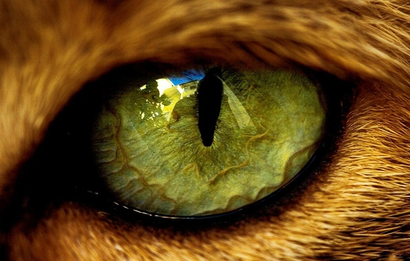 Picture eyes, reflection, animal, wool, the pupil, beast, cat
