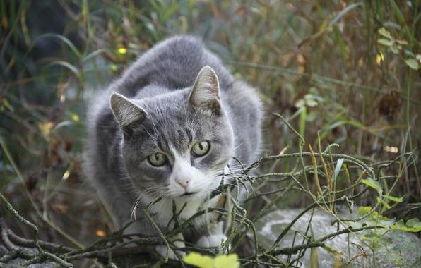 Picture cat, summer, cat, look, background, animal, Wallpaper, village, walk, Animals