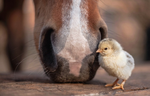 Picture nature, horse, chicken