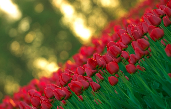 Picture light, flowers, red, nature, spring, blur, Tulips, buds