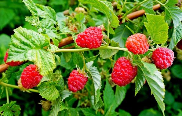 Picture leaves, nature, raspberry, Bush, garden, berry