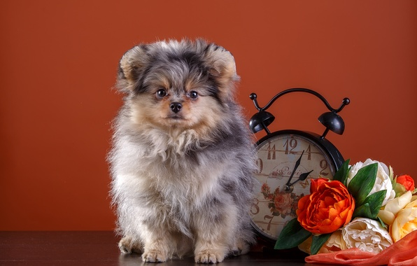 Picture flowers, watch, puppy, Spitz