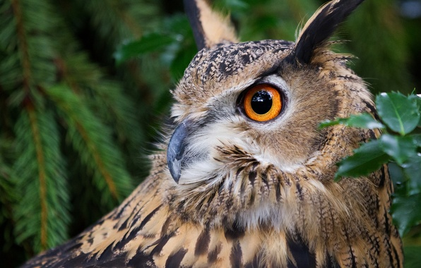 Picture owl, bird, portrait, owl, Virgin Filin